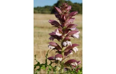 acanthus-spinosissima-v