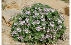 erodium-pelargoniiflorum1