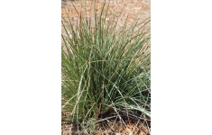 festuca-californica