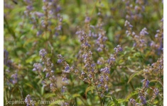 vitex-chinensis-1