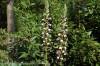 acanthus-mollis--4.jpg