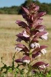 acanthus-spinosissima-v.jpg