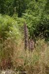 acanthus-spinosus.jpg