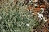 achillea-ageratifolia---1.jpg
