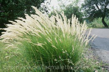 Achnaterum calamagrostis