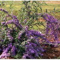 Buddleja alternifolia
