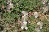 capparis-spinosa-10.jpg
