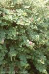 capparis-spinosa-6.jpg