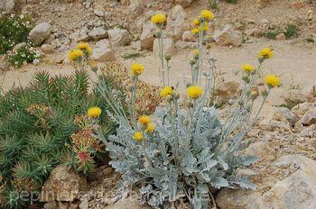 Centaurea ragusina  ssp ragusina