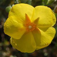 Cistus atriplicifolium