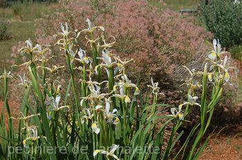 Iris orientalis cv gigantea