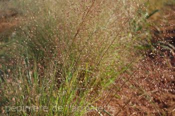 Eragrostis trichodes