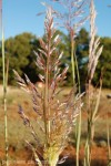 erianthus-ravenae-2.jpg