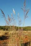 erianthus-ravenae-3.jpg