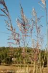 erianthus-ravenae-v.jpg