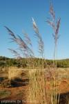 erianthus-ravennae-1.jpg