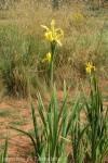 iris-aurea-5.jpg