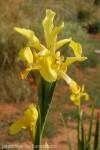 iris-aurea-7.jpg