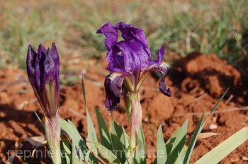 Iris subbiflora
