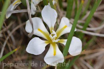 Iris unguicularis ' Alba'