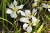 iris-unguicularis-alba-1.jpg