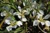 iris-unguicularis-alba2.jpg