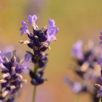 Lavandula x angustifolia 'Hitcote Blue'