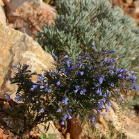 Lithodora hispidula