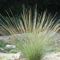Muhlenbergia dubia