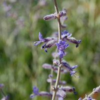 Perovskia scrophularifolia
