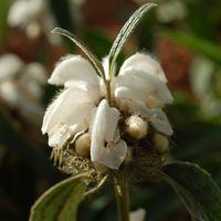 Phlomis anisodonta 'f.blanche'