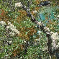 Pistacia terebinthus