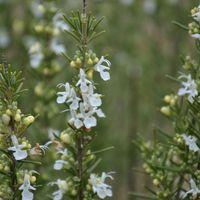 Rosmarinus officinalis 'Alba'