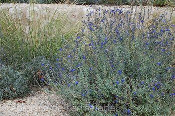 Salvia chamaedryoides var.isochroma