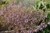 salvia-cyanescens--2.jpg