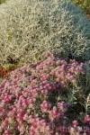 teucrium-cossonii-centaurea-spinosissima1.jpg